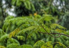 Rain drops on tree leaves